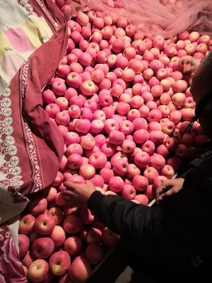 甘肃省平凉市静宁县红富士苹果 纸+膜袋 片红 70mm以上