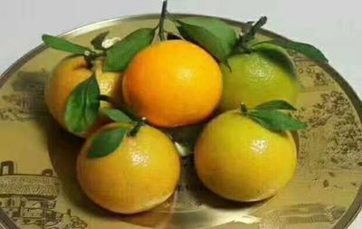 这是一张关于甜橙 75 - 80mm 4-8两的产品图片