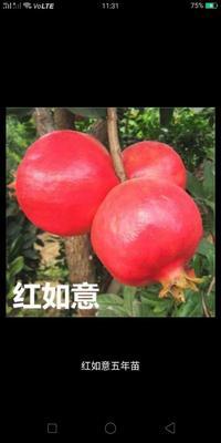 这是一张关于软籽石榴苗的产品图片