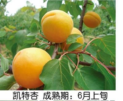 这是一张关于凯特杏苗的产品图片