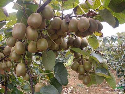 这是一张关于翠香猕猴桃苗 实生苗的产品图片