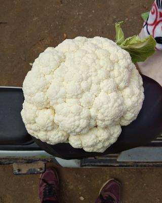 河南省商丘市民权县白花菜花 紧密 3~4斤 乳白色