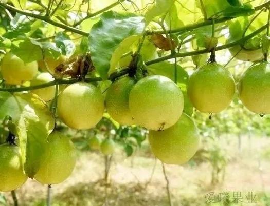 福建黄金百香果