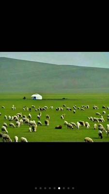 内蒙古自治区呼伦贝尔市额尔古纳市内蒙古绵羊 30斤以下