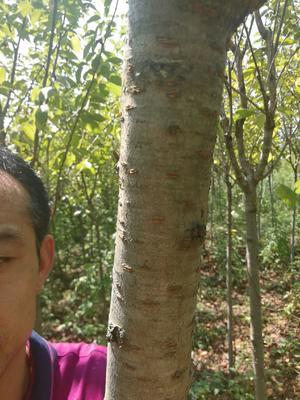 陕西省汉中市西乡县晚樱 4公分以下 1.5~2米