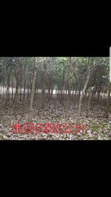 广西壮族自治区桂林市兴安县八月桂