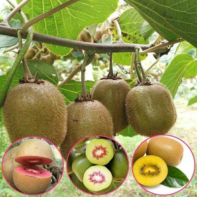 这是一张关于红心猕猴桃苗 实生苗的产品图片