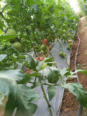 山东省东营市广饶县粉果番茄 不打冷 硬粉 通货