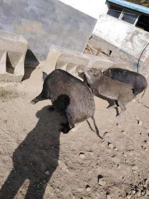 宁夏回族自治区银川市灵武市生态野猪 140斤以上 统货