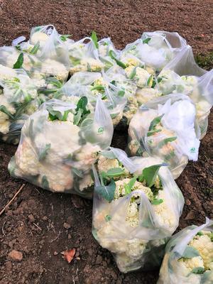 安徽省亳州市谯城区有机花菜 松散 2~3斤 乳白色