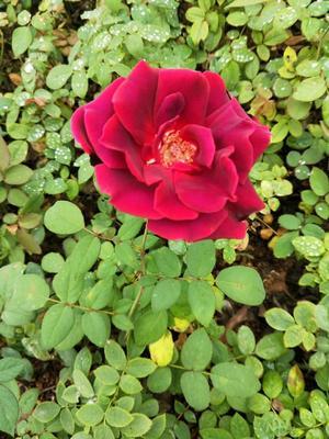云南省昆明市呈贡区食用玫瑰