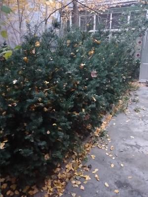 山东省临沂市兰山区曼地亚红豆杉 1~1.5米