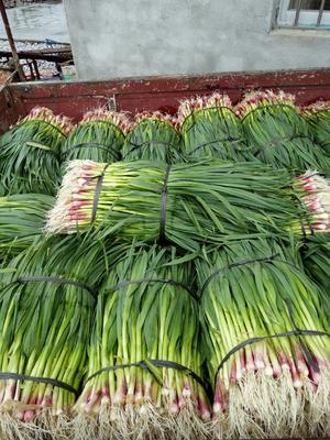 广西壮族自治区柳州市柳江县红根蒜苗 50 - 60cm