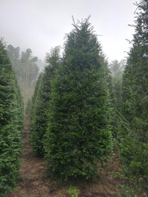 浙江省金华市武义县南方红豆杉 3.5米~5米