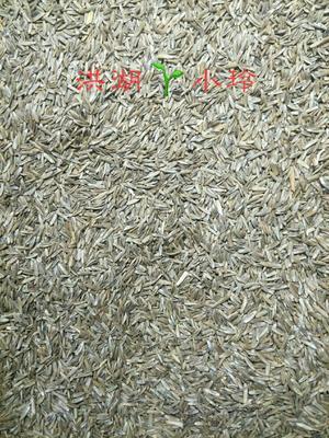 这是一张关于黑麦草种子的产品图片