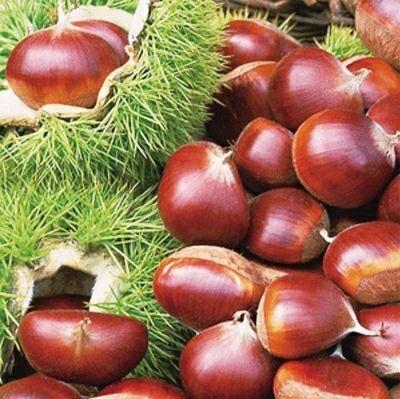 大红袍板栗苗 嫁接苗 1~1.5米
