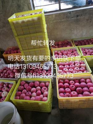 甘肃省天水市秦安县红富士苹果 纸袋 片红 75mm以上