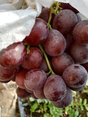 新疆维吾尔自治区巴音郭楞蒙古自治州库尔勒市红地球葡萄 5%以下 1次果 2斤以上