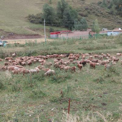 新疆维吾尔自治区昌吉回族自治州木垒哈萨克自治县土羊 50-80斤
