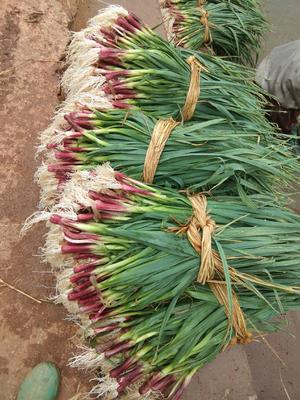 云南省红河哈尼族彝族自治州泸西县红根蒜苗 60 - 70cm