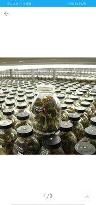 这是一张关于金线莲种苗的产品图片