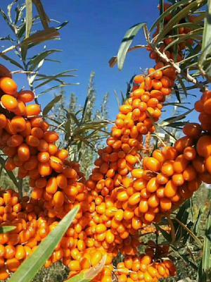新疆维吾尔自治区塔城地区额敏县沙棘果 橙黄色