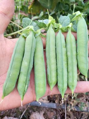 这是一张关于甜脆豌豆 7-10cm 较饱满的产品图片