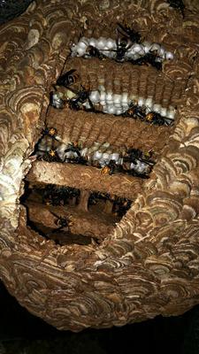 这是一张关于野生胡蜂蛹的产品图片