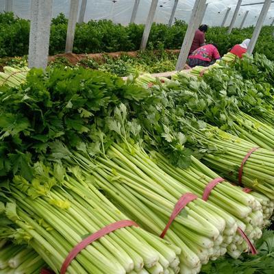 山东省德州市禹城市法国皇后芹菜 60cm以上 大棚种植 1.5~2.0斤
