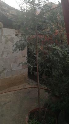 甘肃省陇南市两当县野生红豆杉 1~1.5米