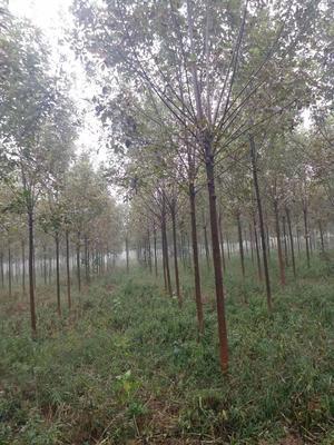 山东省淄博市高青县速生白蜡 5米以上