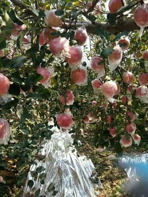 山西省运城市平陆县红富士苹果 纸+膜袋 片红 75mm以上