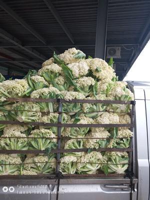 浙江省温州市瑞安市白花菜花 紧密 2~3斤 乳白色
