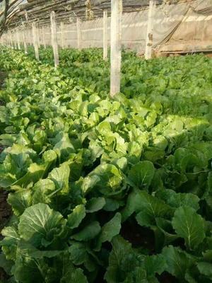 河北省廊坊市三河市小叶香菜 10cm以下