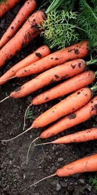 这是一张关于三红胡萝卜 10~15cm 2两以上 3cm以下的产品图片