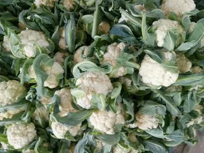 湖北省天门市天门市白花菜花 紧密 2~3斤 乳白色