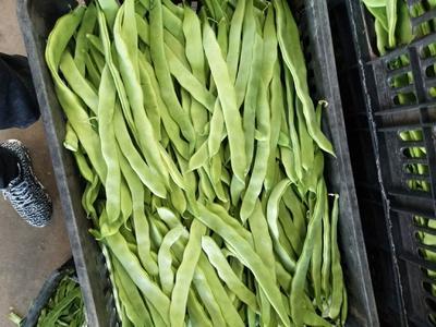 云南省楚雄彝族自治州元谋县绿扁豆 3cm以上 15cm以上
