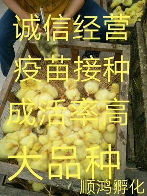 这是一张关于大白鹅苗的产品图片