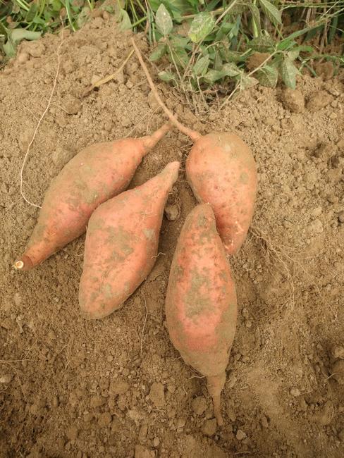 烟薯25 黄皮 1斤~1.5斤