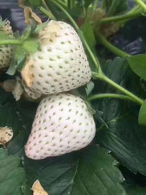 这是一张关于白雪公主草莓苗 地栽苗 10~20公分的产品图片