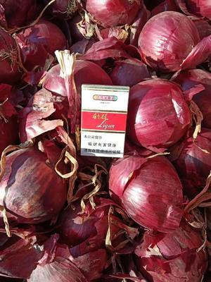 甘肃省武威市凉州区紫皮洋葱 8cm以上 紫皮 3.5~4两