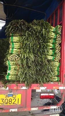 山东省临沂市郯城县红尖叶莴苣 50-60cm 1.5~2.0斤