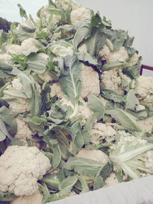 江苏省盐城市东台市银冠菜花 紧密 2~3斤 乳白色