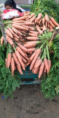 河南省开封市祥符区三红胡萝卜 10cm以下 2两以下 3cm以下