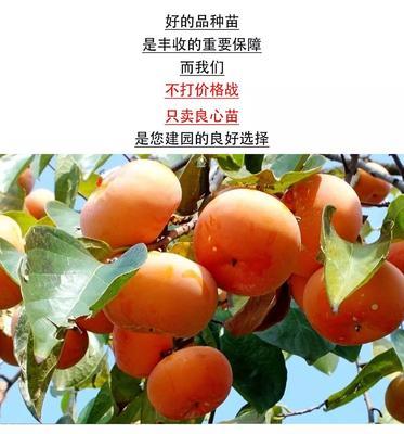 山东省临沂市平邑县磨盘柿苗