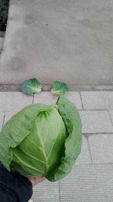 湖北省咸宁市嘉鱼县铁头圆包菜 2.0~2.5斤