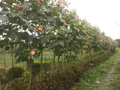 这是一张关于红芙蓉的产品图片