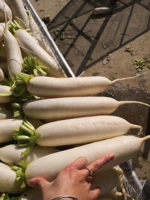 重庆潼南县白萝卜 1.5~2斤