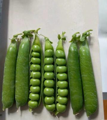 上海嘉定区长寿仁豌豆 5-7cm 饱满