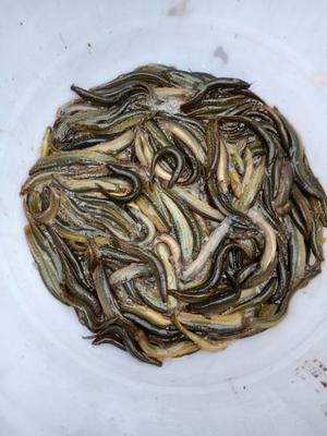 重庆忠县台湾泥鳅 45尾/公斤 10-15cm 人工养殖